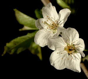 Two white pear blossoms on a black background